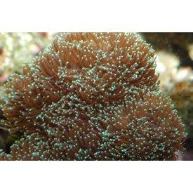 Galaxy Coral