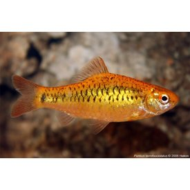 Gold Barb