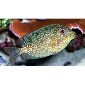 Gold Spotted Rabbitfish