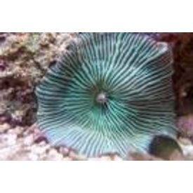 "Green Striped Mushroom 3-4"""