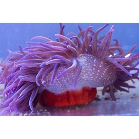 Long Tentacle Purple Anemone