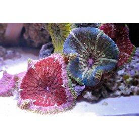 Maxi Mini Anemone