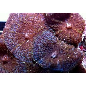Mushroom Coral per leaf