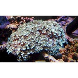 Pipe Organ Coral, Small