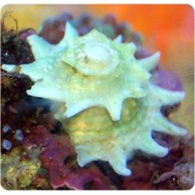 Spiny Astrea Snail
