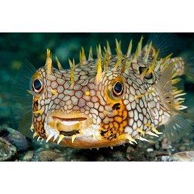 Spiny Box Burrfish Puffer