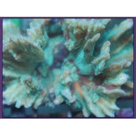 Spiny Cup Pectinia Coral 3-5""
