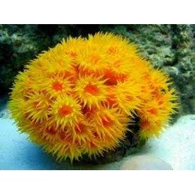 Sun Coral, Orange