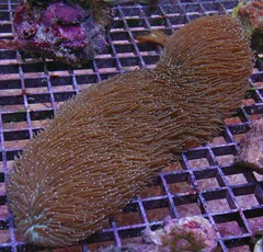 Products tagged with hairy tongue coral