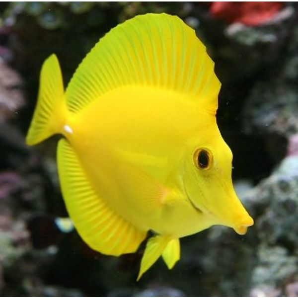 Yellow Tang - Hawaii