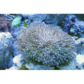 Flower Pot Coral, Purple Fringe