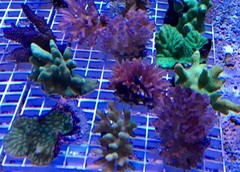 Products tagged with saltwater coral