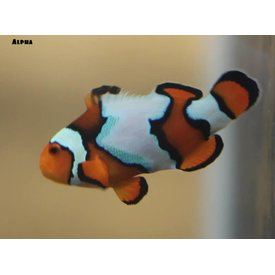 Blue Extreme Snow Onyx Clownfish