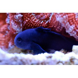 Black Clown Goby
