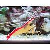 Skunk Cleaner Shrimp