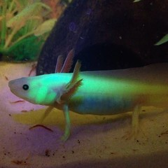Products tagged with axolotl
