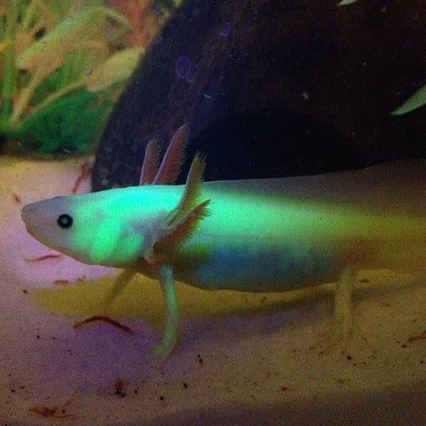 GFP Axolotl