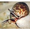 Orange Spotted Tiger Snail
