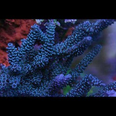 Products tagged with branching acropora