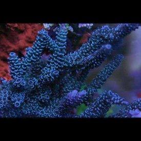 "Bali Cultured Acropora 2.5-3.5"""