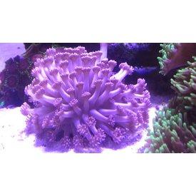 Goniopora lobata Purple