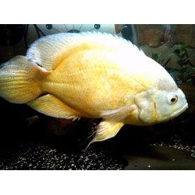 Lemon Oscar Cichlid