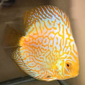 Gold Pigeon Blood Discus