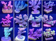 Products tagged with acropora coral