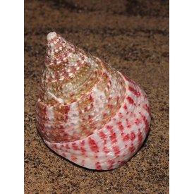 Strawberry Top Snail