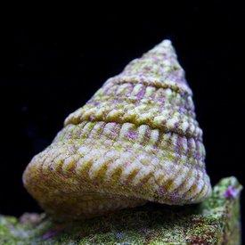 Astrea Snail (Astraea tecta)