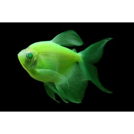 Glofish Electric Green Tetra