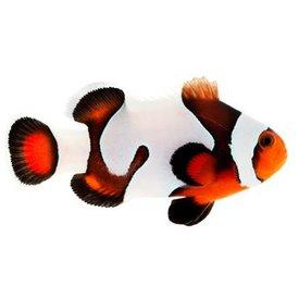 ORA Mocha Gladiator Clownfish