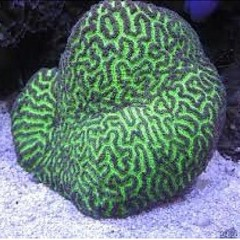 Products tagged with fiji brain coral