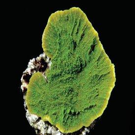 Montipora Capricornis, Green