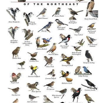 THE BIRD STORE AND MORE BACKYARD FEEDER BIRDS OF THE NORTHEAST POSTER