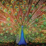 - SUNSOUT THE BIG BOY PEACOCK PUZZLE 1000 PC
