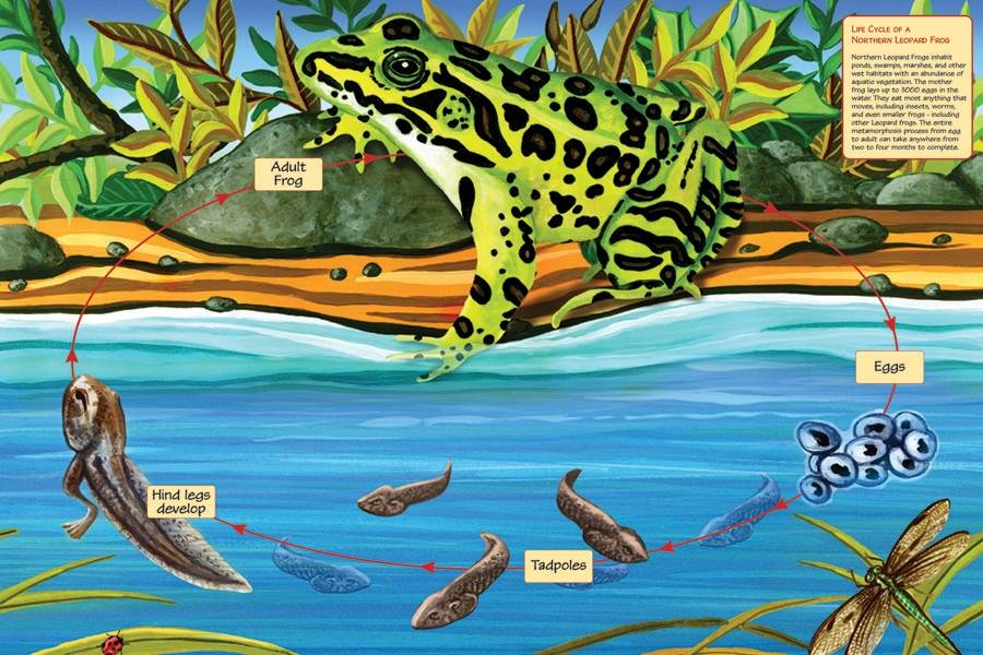 Cobble Hill Life Cycle of a Northern Leopard Frog