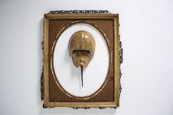 HORSESHOE CRAB IN ANTIQUE FRAME