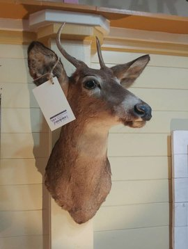Penny Buck Taxidermy