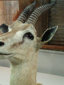 Antelope Taxidermy