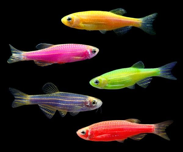 Animals glo danio red fields petcare for Danio fish care