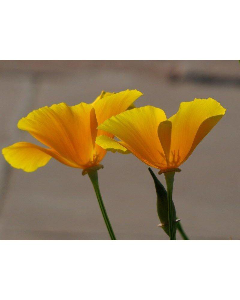 Yellow poppy brooch well read department store trovelore yellow poppy brooch trovelore yellow poppy brooch mightylinksfo