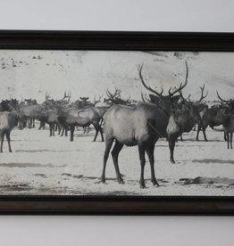 Large Elk Herd Print