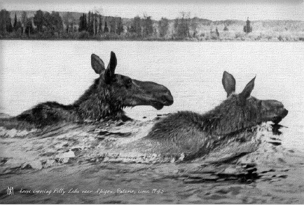 2 Moose 1945 Canvas Print