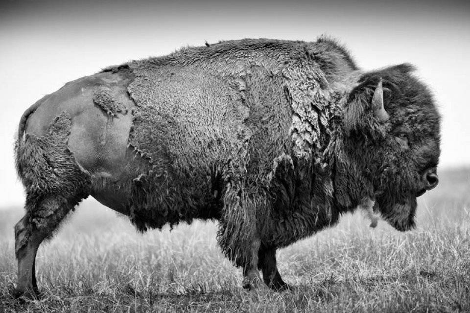 Buffalo Ballad: On the Trail of an American Icon