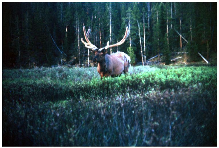 Vintage Bull Elk in Velvet, Hukel