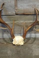 Large Deer Antlers