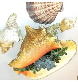 Succulent Conch Shell