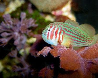 Pet City Red Amp Green Clown Goby Salt Water Fish Pet