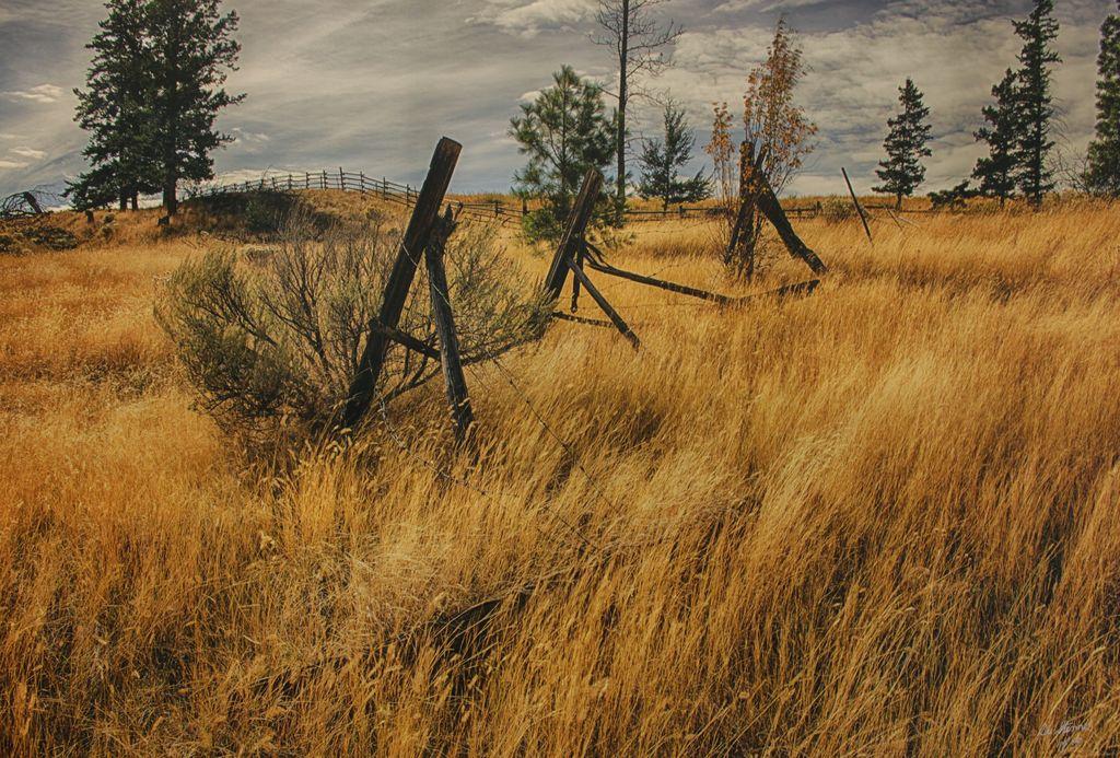 Golden Grasses of Knutsford
